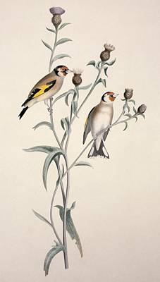 European Goldfinch, 19th Century Print by Science Photo Library