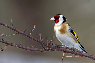 European Goldfinch  Art Print by Torbjorn Swenelius