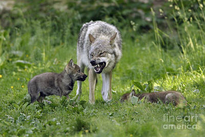 European Wolf Photograph - European Gray Wolves, Canis Lupus by Duncan Usher