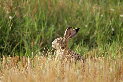 European Hare Wall Art - Photograph - European Hare by Bjorn Svensson/science Photo Library