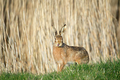Brown Hare Photograph - European Hare by Dr P. Marazzi