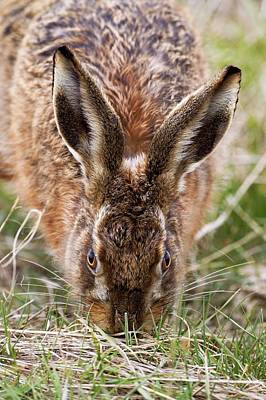 European Hare Wall Art - Photograph - European Hare Eating Grass by John Devries/science Photo Library
