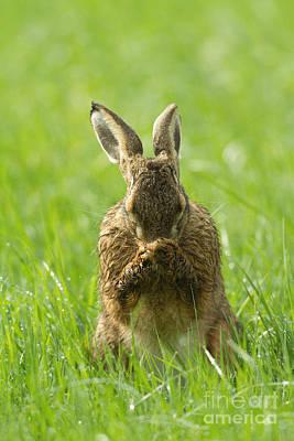 European Hare Wall Art - Photograph - European Hare Grooming by Helmut Pieper