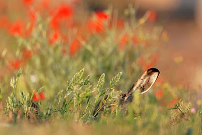 European Hare Wall Art - Photograph - European Hare by Manuel Presti/science Photo Library