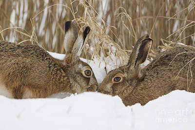 Photograph - European Hares by Paul Sawer FLPA