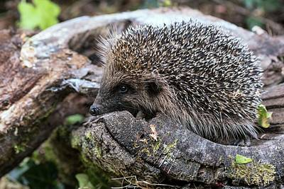Hedgehog Wall Art - Photograph - European Hedgehog by Brian Gadsby/science Photo Library