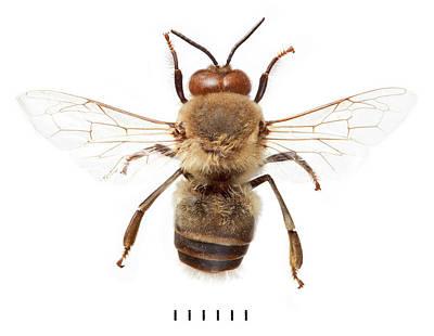 European Honeybee Art Print by Natural History Museum, London