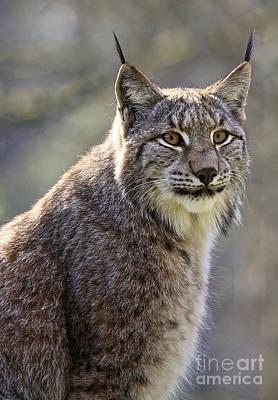 European Lynx Art Print by Andreas Marx