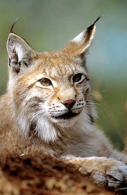 Lynx Wall Art - Photograph - European Lynx (lynx Lynx) by Louise Murray/science Photo Library