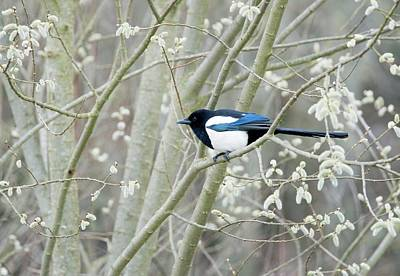 Magpies Wall Art - Photograph - European Magpie by John Devries/science Photo Library