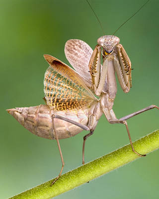 Robert Jensen Photograph - European Mantid by Robert Jensen