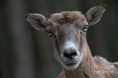 Photograph - European Mouflon by Thomas Gehrke