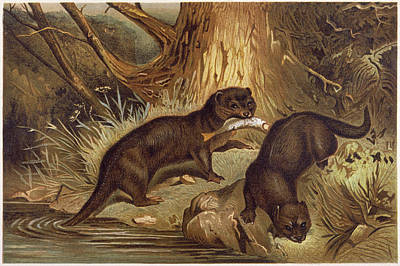Otter Drawing - European Otter          Date Circa 1840 by Mary Evans Picture Library