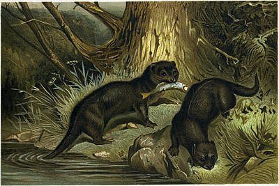Otter Drawing - European Otter by English School