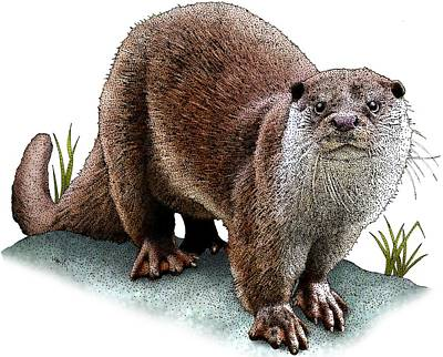Photograph - European Otter by Roger Hall