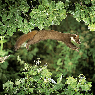 Photograph - European Pine Marten by Manfred Danegger