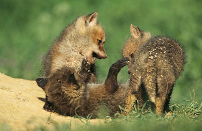 European Red Fox Cubs Print by Duncan Usher
