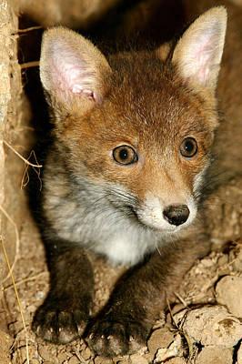 European Red Fox Vulpes Vulpes Print by Gerard Lacz