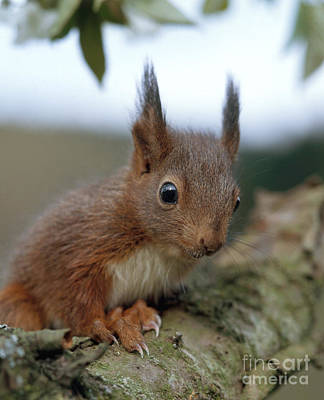 Photograph - European Red Squirrel by Hans Reinhard