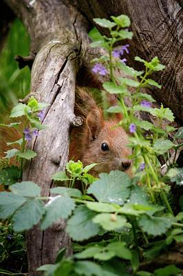Red Squirrel Photograph - European Red Squirrel by Heath Mcdonald
