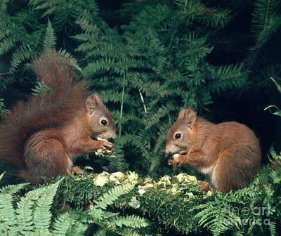 Photograph - European Red Squirrels by Hans Reinhard