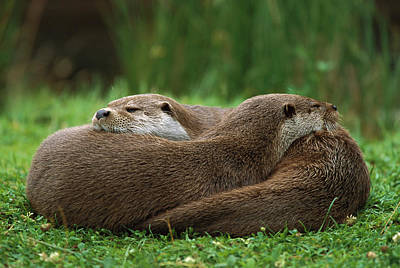 Otter Photograph - European River Otter Lutra Lutra by Ingo Arndt