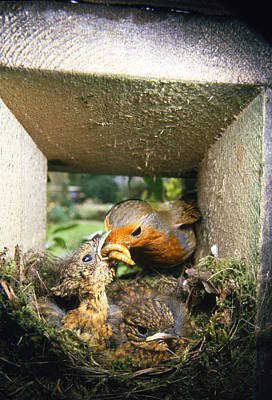 Hungry Chicks Photograph - European Robin And Chicks by John Daniels