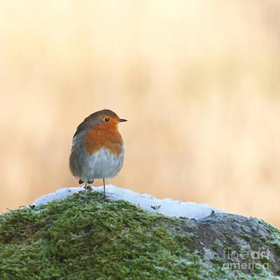 Bird Photograph - European Robin Erithacus Rubecula by Liz Leyden