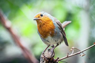 Red-breasted Robin Photograph - European Robin by Paul Williams