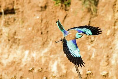 Blueish Photograph - European Roller (coracias Garrulus) by Photostock-israel
