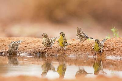 Finch Photograph - European Serin (serinus Serinus) by Photostock-israel
