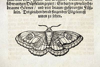 1600s Wall Art - Photograph - European Silkmoth by Paul D Stewart