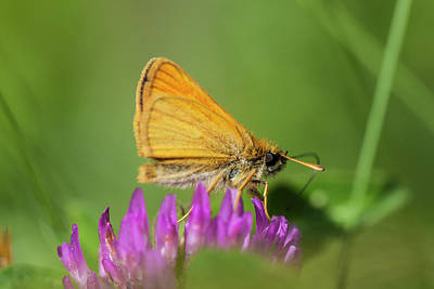 Skipper Photograph - European Skipper Butterfly, Thymelicus by Jerry and Marcy Monkman