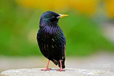 Photograph - European Starling At Monterey by Susan Wiedmann
