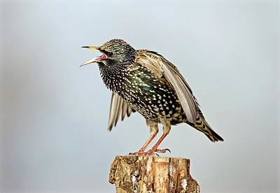 Starlings Wall Art - Photograph - European Starling Displaying by John Devries/science Photo Library
