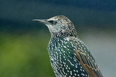 Photograph - European Starling by Fraida Gutovich