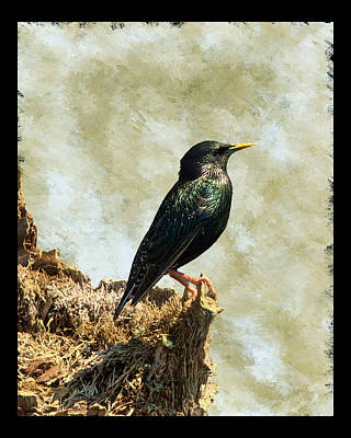 Photograph - European Starling I by Dawn Currie