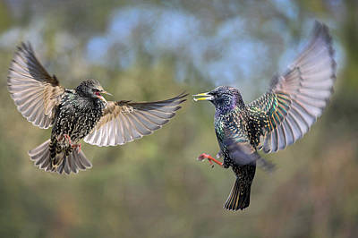 Starlings Wall Art - Photograph - European Starlings Fighting by Simon Booth/science Photo Library