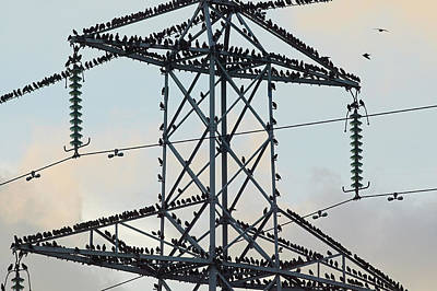 Starlings Wall Art - Photograph - European Starlings On A Pylon by Andy Harmer/science Photo Library