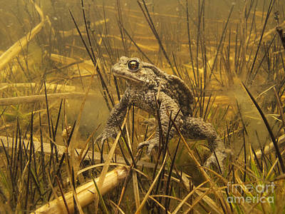 Toad Photograph - European Toad Noord-holland Netherlands by Jan Smit
