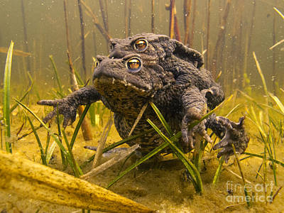 Copulation Photograph - European Toad Pair Mating Noord-holland by Jan Smit