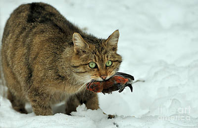Crossbill Photograph - European Wildcat by Reiner Bernhardt