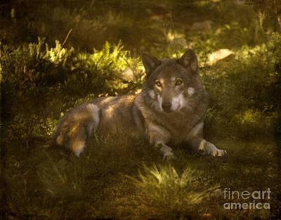 European Wolf Art Print by Angel  Tarantella