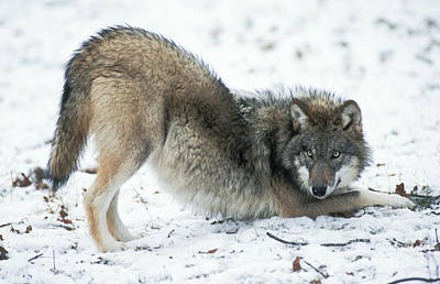 European Wolf Photograph - European Wolf, Canis Lupus by Duncan Usher