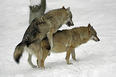 European Wolf Photograph - European Wolves Mating by Duncan Usher