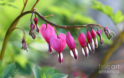 Photograph - Evening Bleeding Hearts 2013 by Steve Augustin