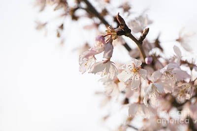 Rosaceae Photograph - Evening Cherry Blossom by Anne Gilbert