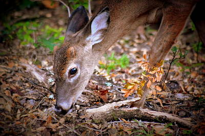 Photograph - Evening Feeding Buck by Sheri McLeroy