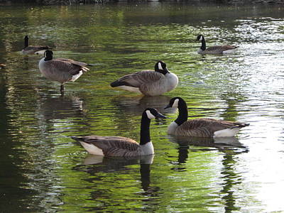 Evening Geese Gathering Art Print