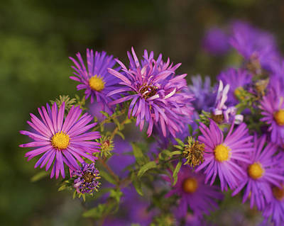 Photograph - Evening Glow On Asters by Jane Eleanor Nicholas